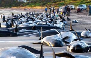 beached pilot whales